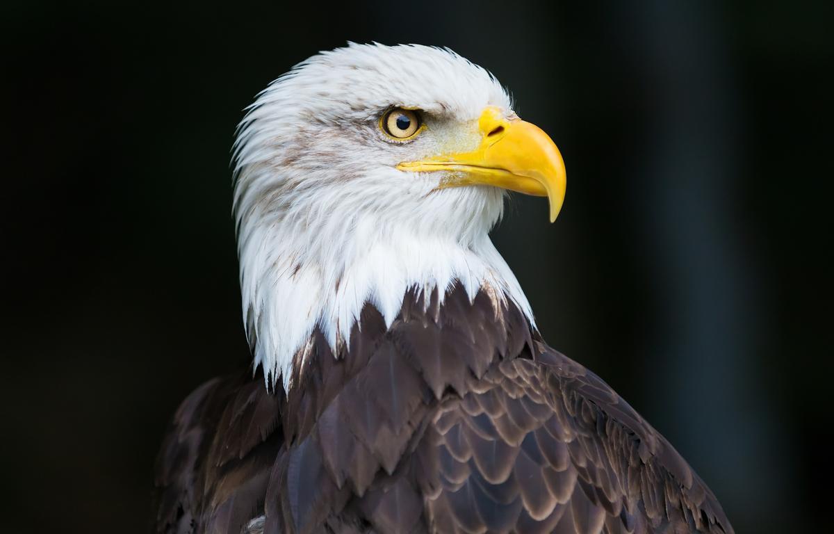 American Bald Eagle   Bald eagle, American bald eagle, My
