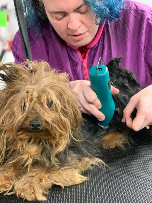 Clarksville rescue group saves Yorkies from Georgia puppy mill
