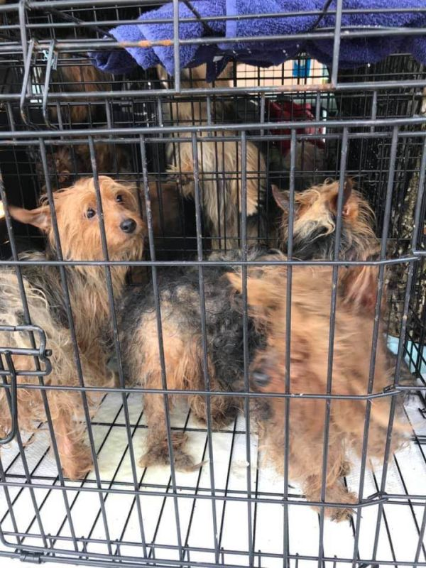 Clarksville rescue group saves Yorkies from Georgia puppy